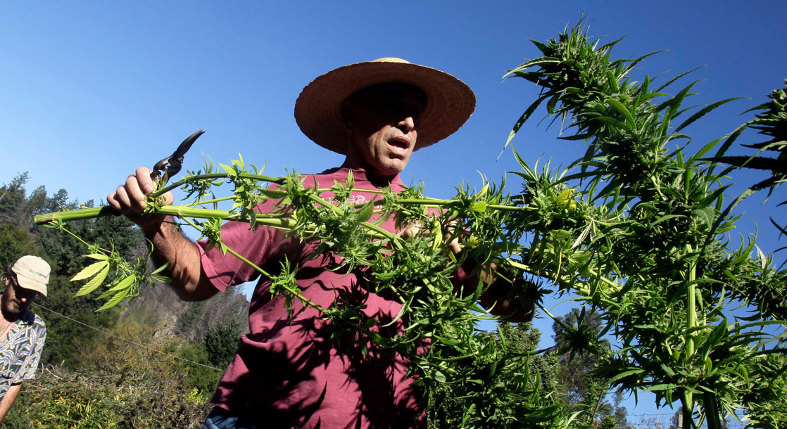 California Pot Farmers Are Fighting For The Right To Grow