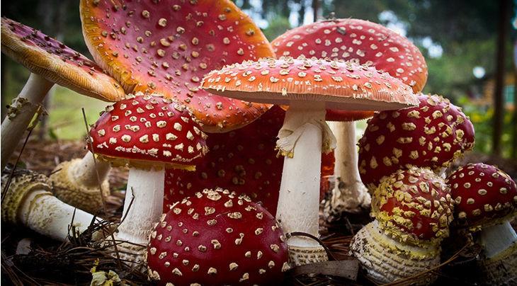 Magic Mushrooms And Christmas