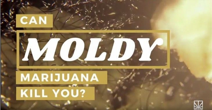 Is moldy marijuana dangerous for your health?