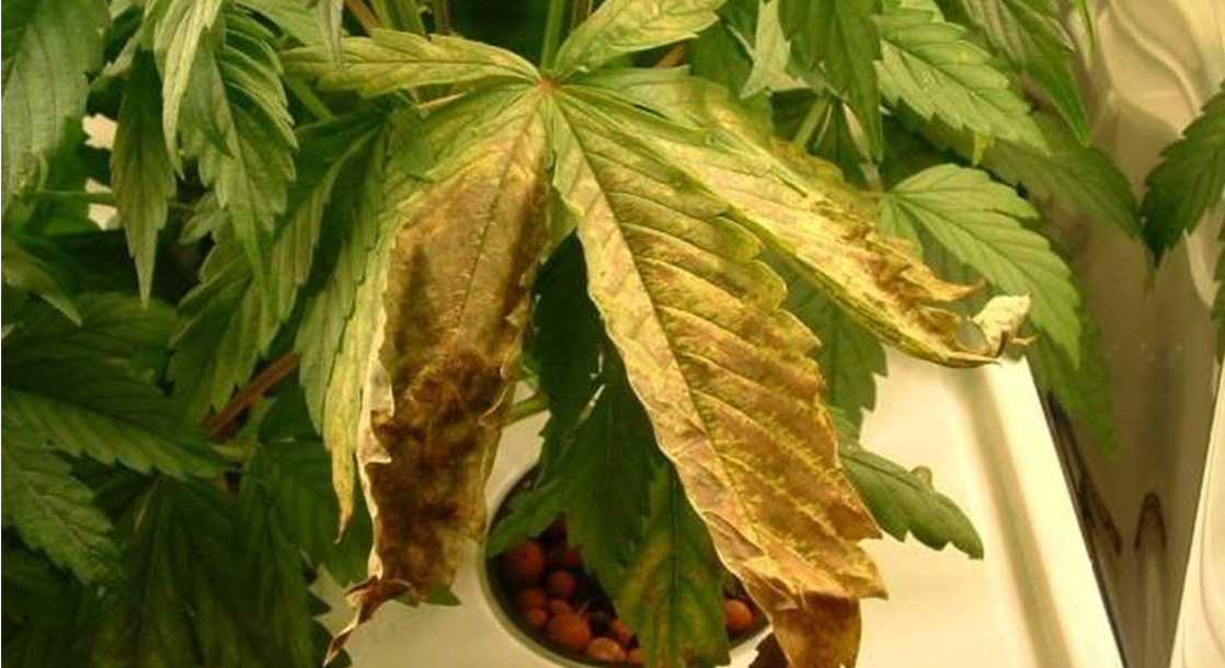 A Guide to Cannabis Seedling Diseases and How to Prevent Them