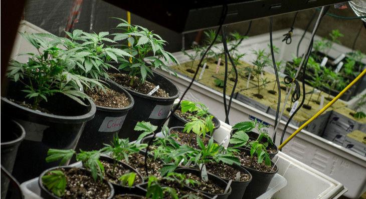 Colorado Senate Votes to Limit Home-Grows to 12 Marijuana Plants