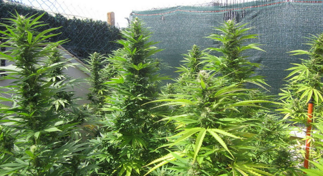Despite political barriers massachusetts farmers push for for Exterieur weed