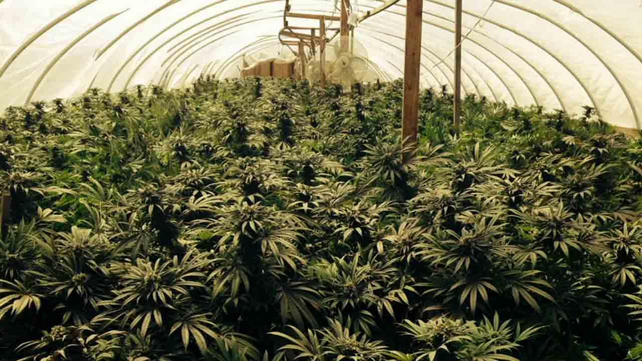 How To Grow Weed A Marijuana Beginner S Guide
