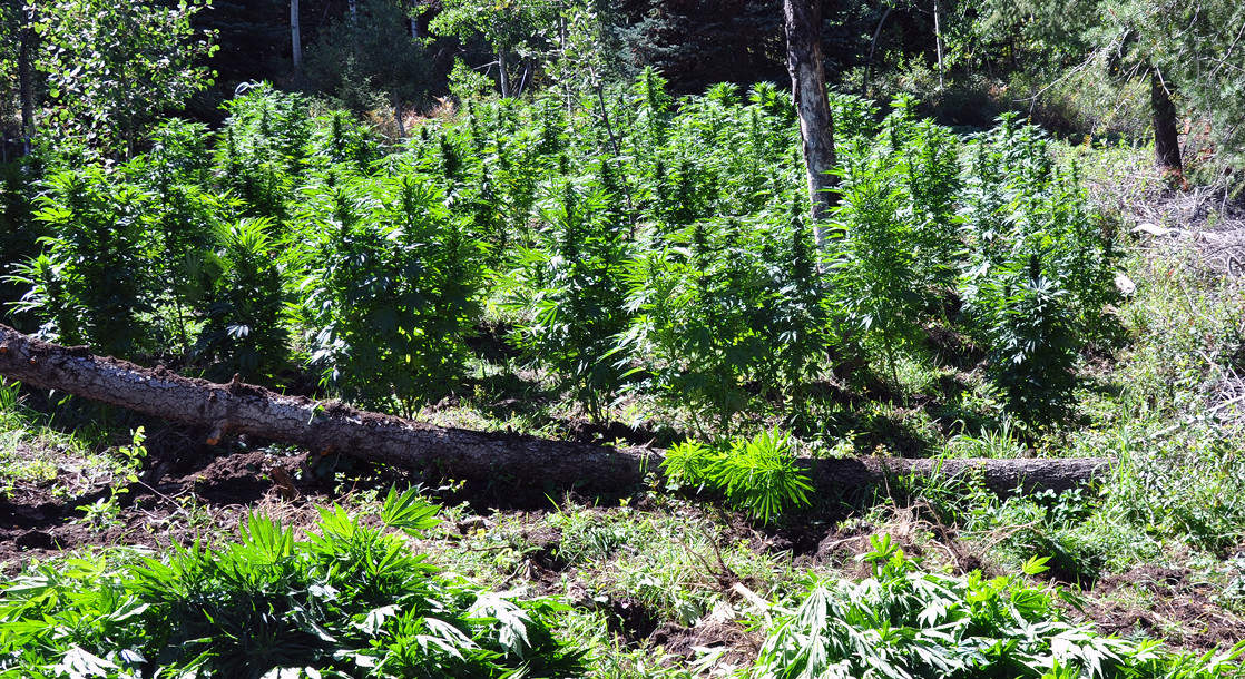 Only 11% of Northern California Cannabis Growers Have Applied to Join the Legal Market