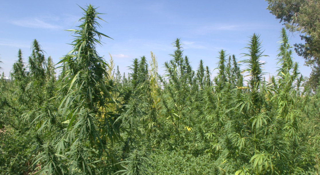 Congress May Finally Legalize Industrial Hemp This Year