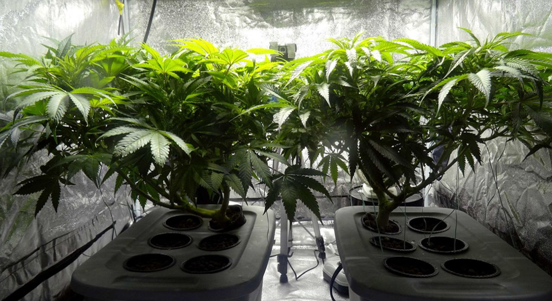 New Colorado Bill Would Add Chemical Agent to Cannabis Plants to Help Police Track Illegal Weed