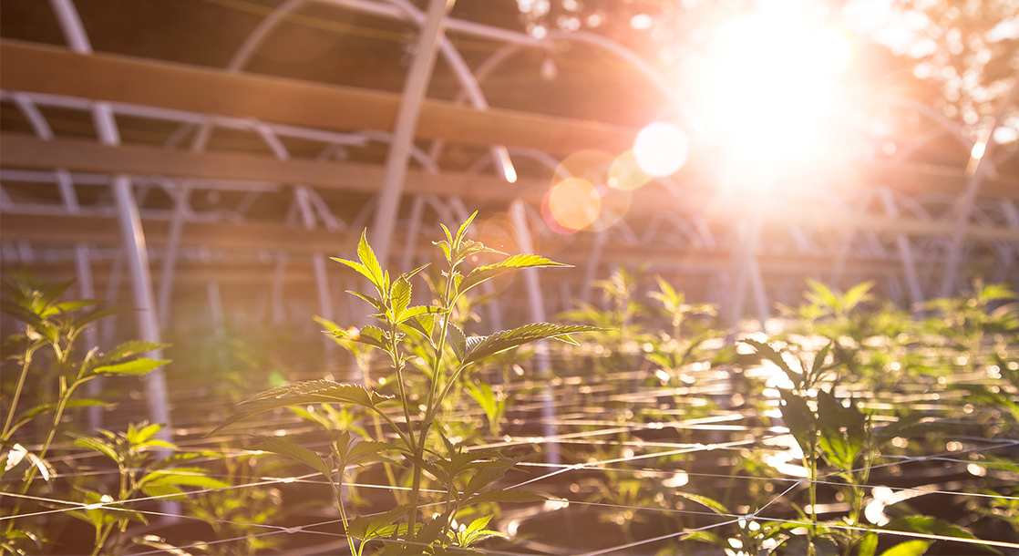 Canadian Cannabis Business Flies 100,000 Plants to Vancouver Amid Real Estate Shortage
