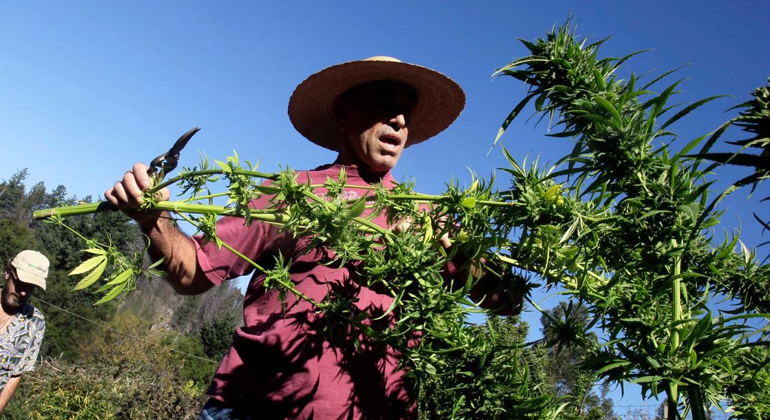 Calaveras Marijuana Farmers