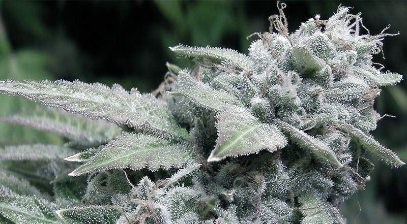 Is Marijuana Stronger Today