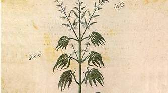 a study of the history and uses of cannabis sativa or marijuana Drug types of cannabis (marijuana), which contain high amounts of the psychoactive cannabinoid δ 9-tetrahydrocannabinol (thc), are used for medical purposes and as a recreational drug hemp types are grown for the production of seed and fibre, and contain low amounts of thc.