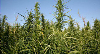 Company Switches From Tobacco to Hemp
