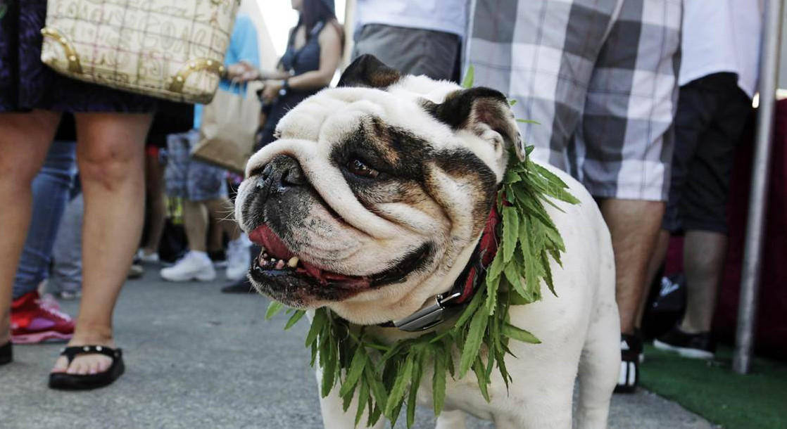 People Are Still Testing Medical Marijuana on Pets, Despite Limited Research