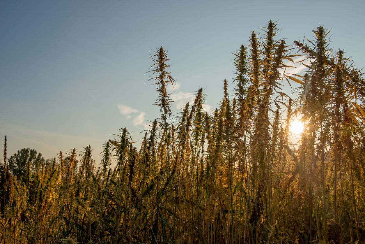 How the Hemp Industry Is Being Reshaped by Canadian Pot