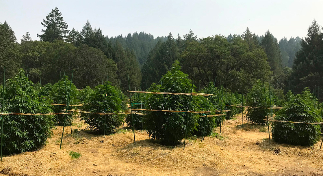 Why Choose Sungrown Cannabis, and What Makes Outdoor Cultivation Superior?