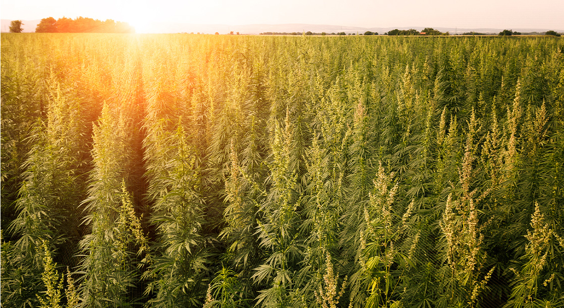 What Does the American Hemp Explosion Mean for Craft Cannabis Farmers?
