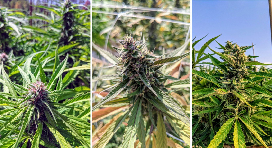 The East Coast's First Legal Outdoor Cannabis Grow Is Being Harvested Right Now