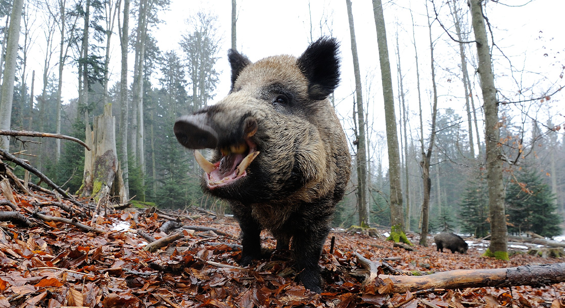Wild Boars Pigged Out on $20,000 Worth of Gangsters's Cocaine