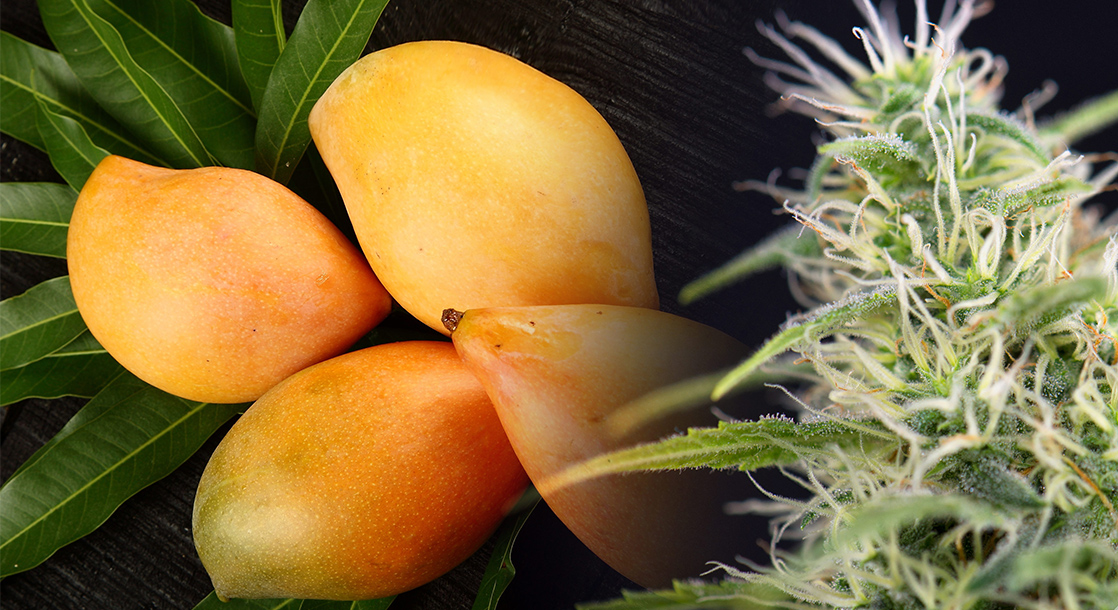 WTF Is Myrcene and What Does This Cannabis Terpene Do?