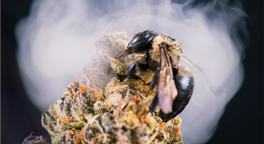 Bees Love Weed Almost as Much as We Do, Study Finds