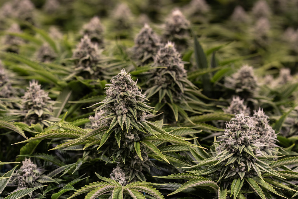 The Top 5 Discoveries in Cannabis Science of 2019