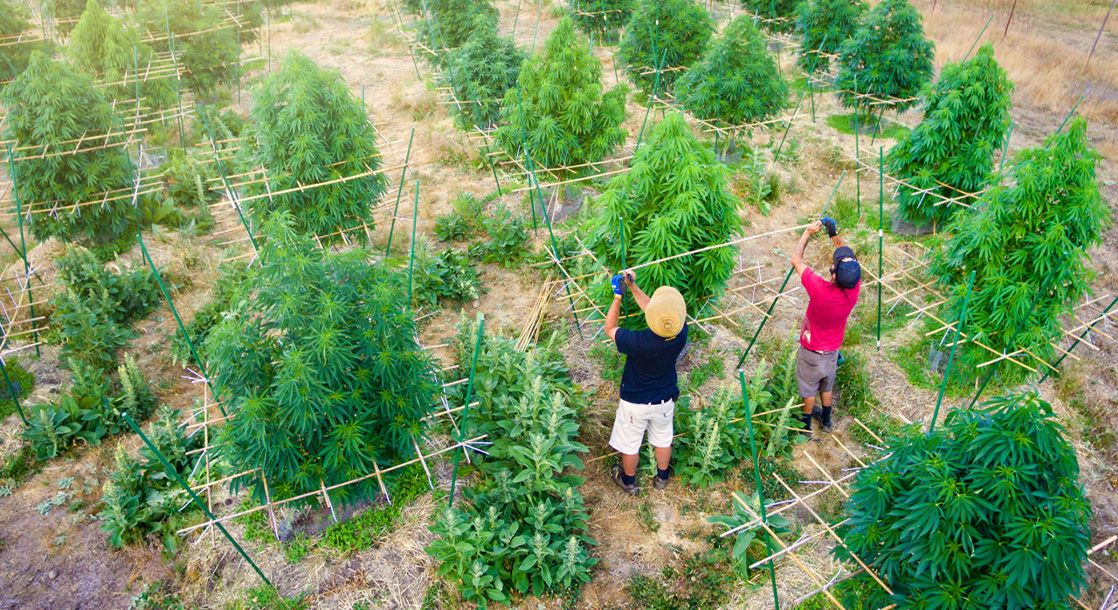 What Do the Blazin' 20s Hold for Cannabis Growers in The Emerald Triangle?