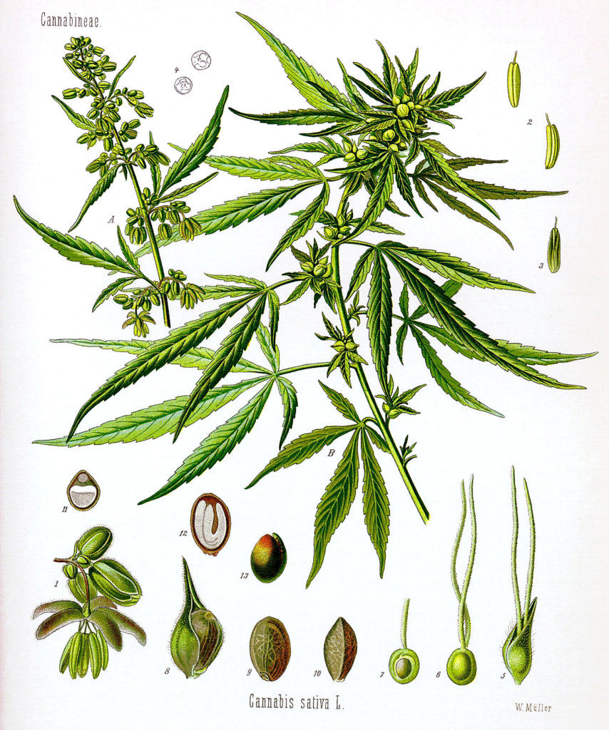 Do You Know Your Cannabis Anatomy? Here's How to Identify Each Part of the Plant