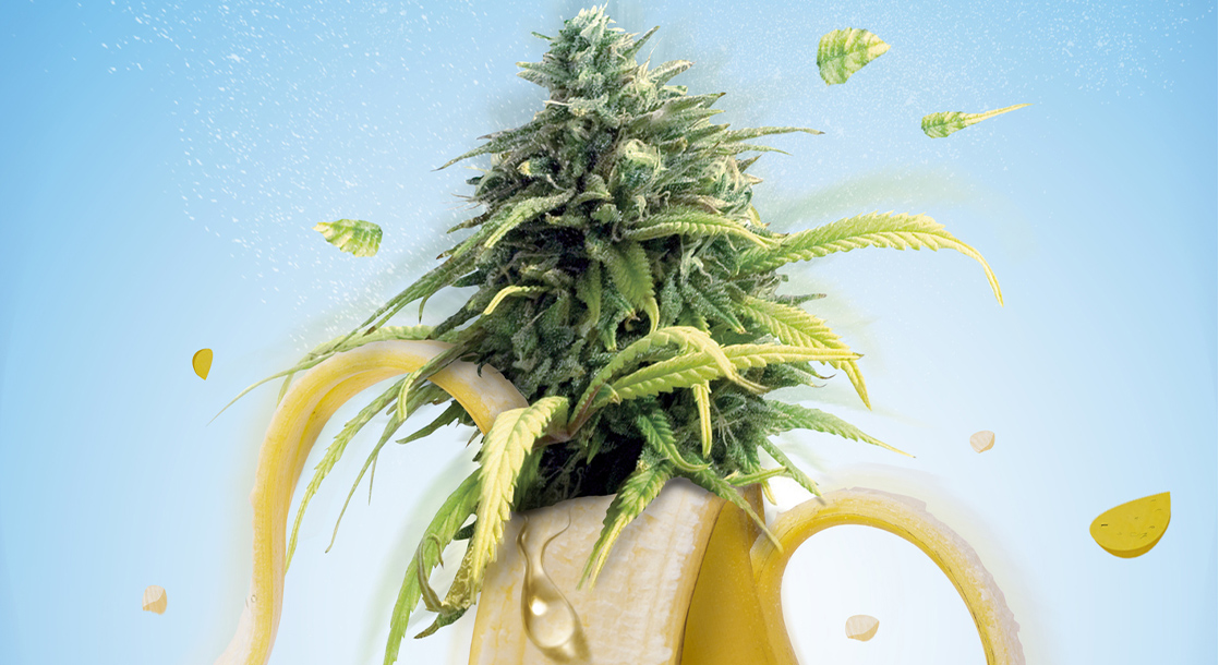 "What Is ""Banana Split"" Weed and Will This Strain Satisfy a Toker's Sweet Tooth?"
