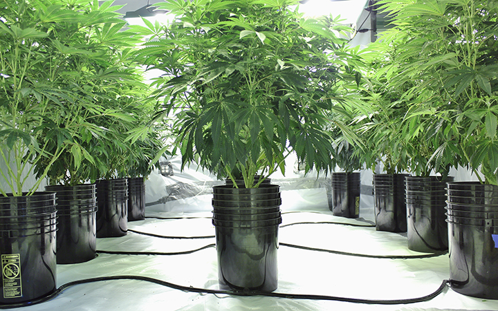 1592508089774_how-to-use-hydroponic-growing-systems-for-marijuana-leafly.jpg