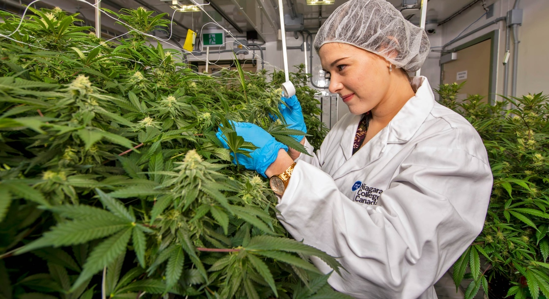 photo of Weed Industry Workers Are Estimated to Outnumber Computer Programmers by End of 2020 image