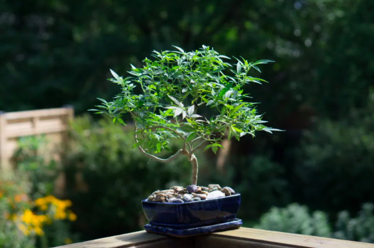 These Are The Chillest Cannabis Bonsai Trees In The World