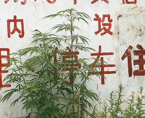 1626717787339 818cannabis