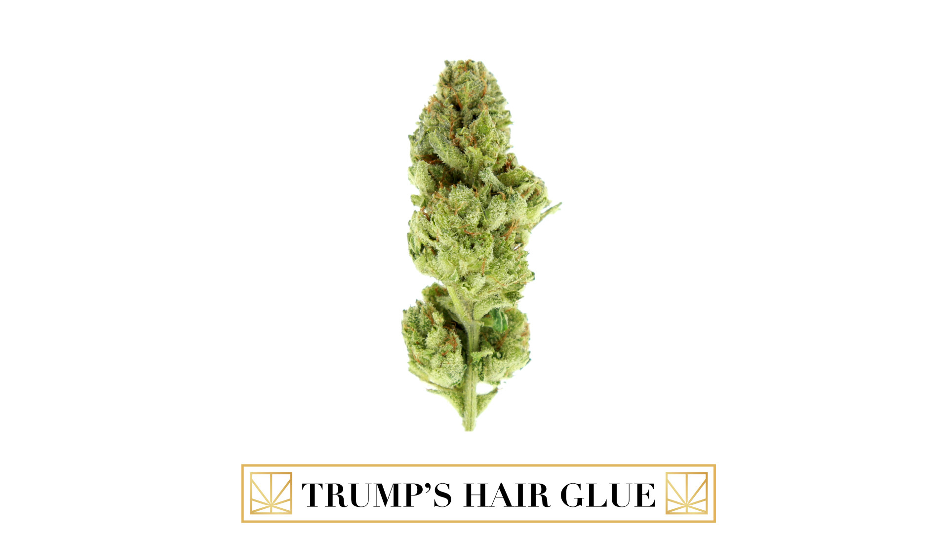 <p>World HTCC Award-Winning by Powers Grown with New Amsterdam Naturals (Chemsis x Sour Dub x Chocolate Diesel) Trump's Hair Glue #4. The popcorn structured nugs of this cut have neon green coloring, trichomes caked from top to bottom, and copper pistils almost hidden behind the plump calyxes. Its combination of a sour diesel scent with slight hints of citrus is very pungent with the flavor being just as intense. The almost instantaneous head change upon exhale weighs heavily on the cerebral side that is both energetic and euphoric. The body high is just enough to relax you, but not over power your senses.<br /> </p>